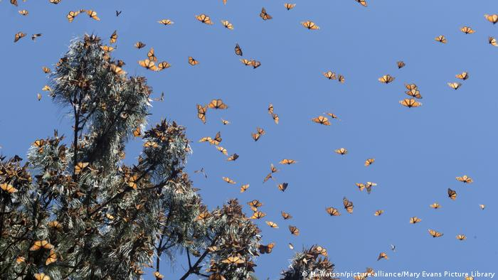 A large number of orange and black monarch butterflies flying around at tree