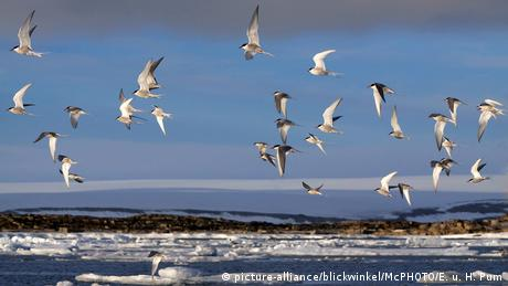 A flock of terns flying above the sea