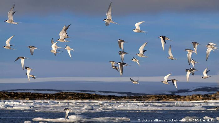 Una bandada de charranes sobrevolando el mar.