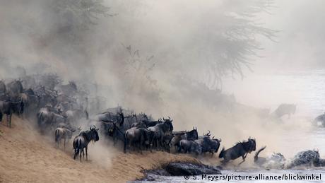 Eine Herde Gnus wirbelt beim Laufen Staub auf