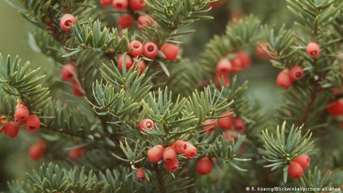 Pacific yew tree berries