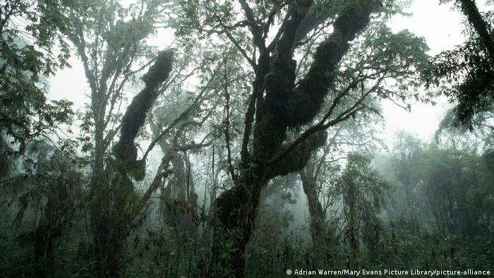 Sequoia africana, também chamada de kosso.