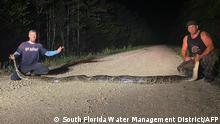 Florida Riesen Python