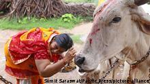 Indien heilige Kuh