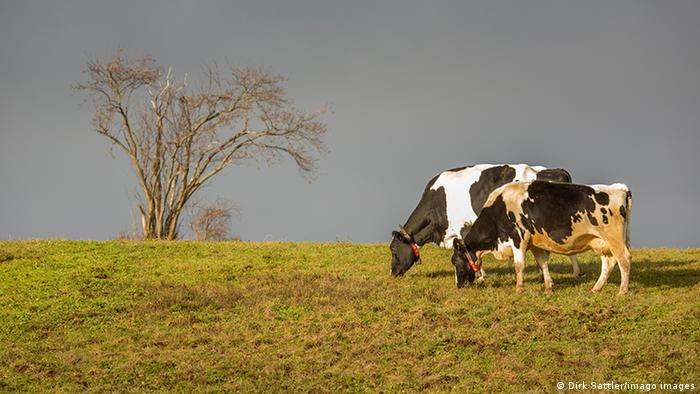 Duas vacas malhadas pastam.