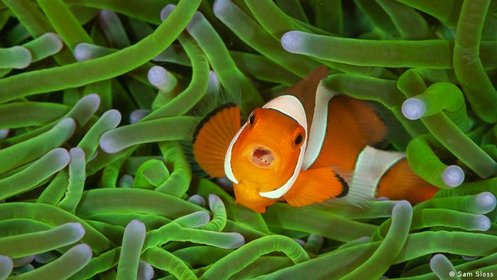 A colorful clownfish with its mouth open inside bright green sea life (Sam Sloss)