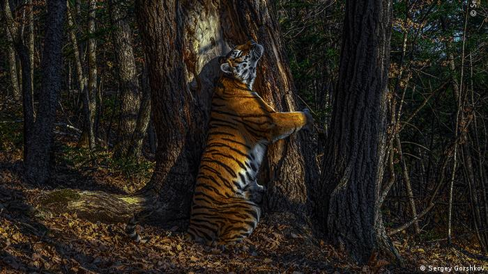 A tigress in Sibertia rubs up against a large tree (Sergey Gorshkov)