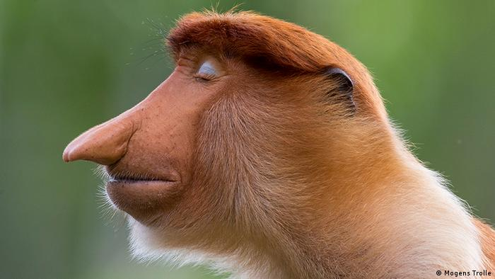 The side profile of a proboscis monkey with its big nose (Mogens Trolle)