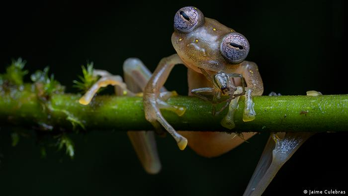 A small translucent frog clings to a branch (Jaime Culebras)