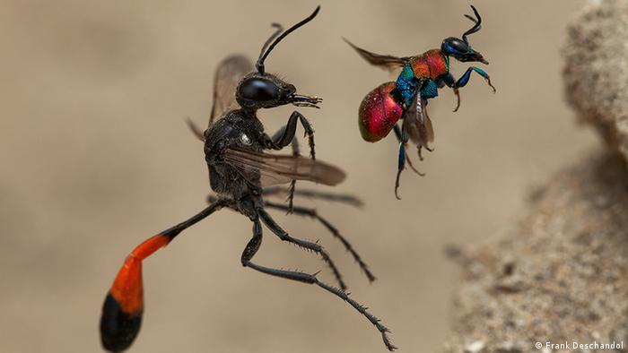 Two colorful wasps fly next to one another, one larger than the other (Frank Deschandol)