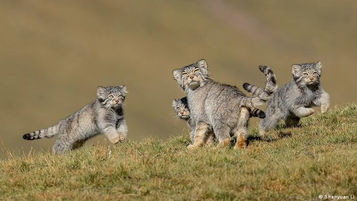 Several small Pallas's cats look towards the camera in alarm (Shanyuan Li)