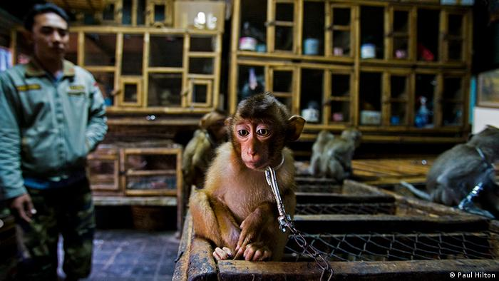 A small monkey looks sad as its chained to a cage indoors (Paul Hilton)