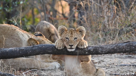 Eco Africa - Tintswalo Safari Lodge's virtual safaris in South Africa