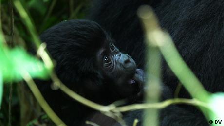 Eco Africa - Uganda's mountain gorilla baby boom
