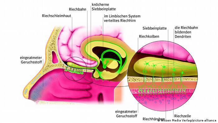 Die Riechzellen liegen in der Nasenschleimhaut unterhalb der knöchernen Siebbeinplatte