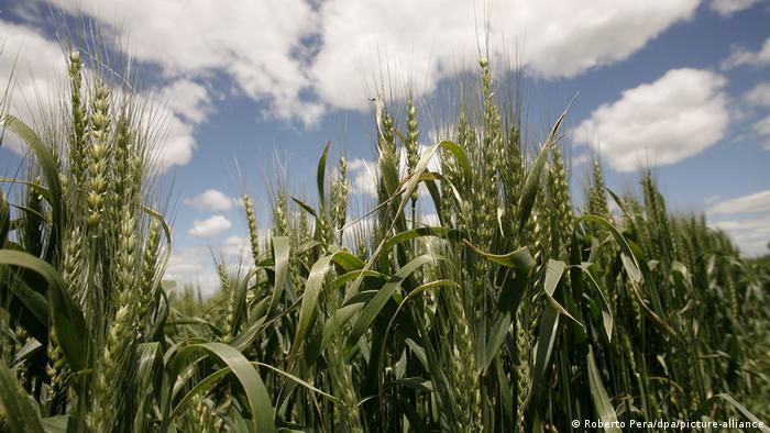 Soja, maíz y colza genéticamente modificada sí, ¿pero trigo no?