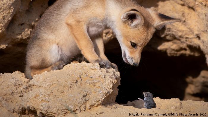 A fox cub looks at a shrew (Ayala Fishaimer/Comedy Wildlife Photo Awards 2020)