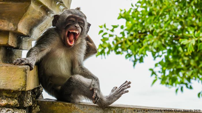 A young macaque appears to smile for the camera at a temple in Bali (Luis Martí/Comedy Wildlife Photo Awards 2020)