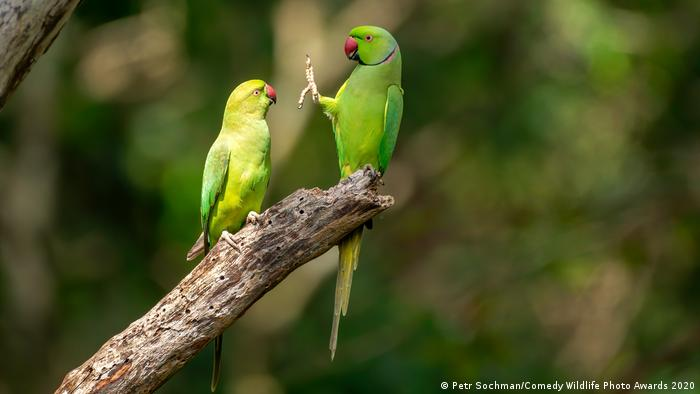 Two rose-ringed parakeets sit on a branch, with one holding up its foot (Petr Sochman/Comedy Wildlife Photo Awards 2020)