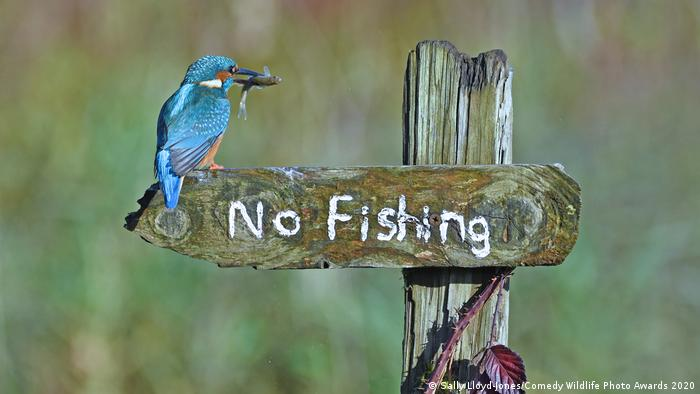 A Kingfisher sits on a sign that reads No Fishing, with a fish in its beak (Sally Lloyd-Jones/Comedy Wildlife Photo Awards 2020)