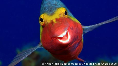 A smiling parrot fish in the Canary Islands (Arthur Telle-Thiemann/Comedy Wildlife Photo Awards 2020)