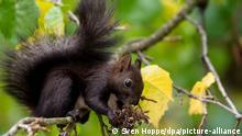Deutschland Herbst 2020 Eichhörnchen in München