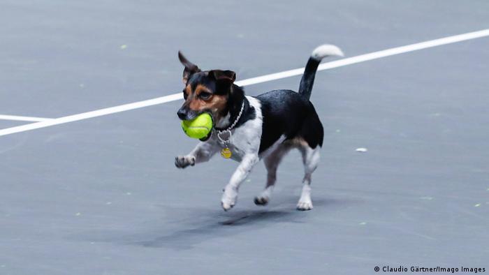 در ماه سپتامبر سال جاری بود که برگزارکنندگان تورنمنت بینالمللی تنیس در کلن کودکان و نوجوانان علاقمند را فراخواندند تا برای حضور در این تورنمنت به عنوان توپجمعکن تقاضا بدهند. البته سگ مدیر تورنمنت نیز در صحنه حضور دارد و در وقت استراحت سرگرم توپ جمع کردن است.