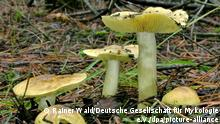 Зеленушка (нем. Grünling) - гриб 2021 года в Германии