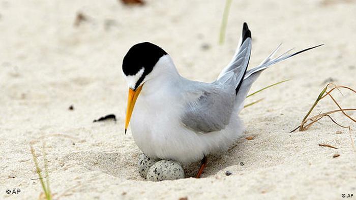 Eine brütende Zwergseeschwalbe am Sand. (Copyright: AP Photo/Dave Martin)