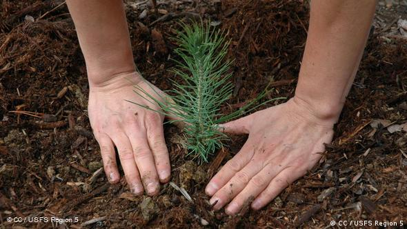 A pine tree seedling being planted