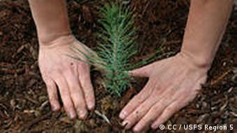 planting a pine tree seedling