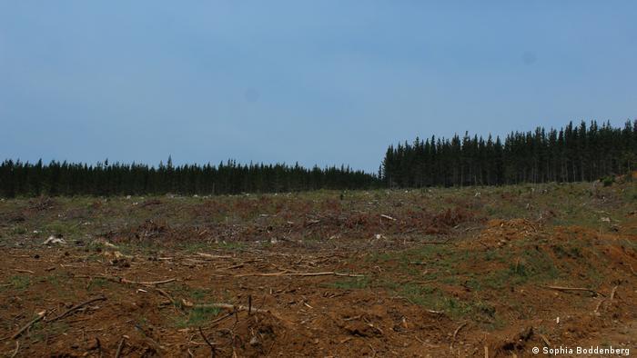 Una plantación forestal en Chile, o lo que queda de ella.