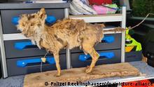 Чучело лисицы в полицейском участке Реклингхаузена