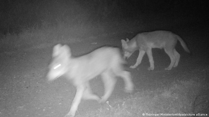 Тюрингские волчата в конце июня 2020 года