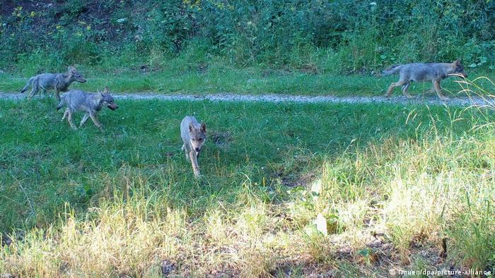 Молодые волки около Ордруфа в начале прошлого августа