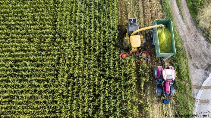 An overhead view of corn being harvested
