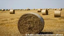06.08.2020, Linnich, Nordrhein-Westfalen, Deutschland - Strohballen liegen nach der Getreideernte auf dem Stoppelfeld. | Verwendung weltweit