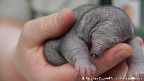 Beba bodljikavog mravojeda pala je sa drveta. Na sreću, spasili su ga i sad danonoćno paze na njega u ambulanti za divlje životinje zoološkog vrta Taronga u Sidneju, u Australiji.