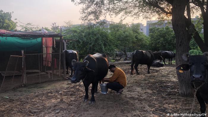 An Indian dairy farmer milks a cow