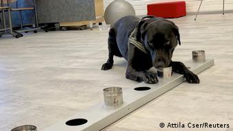 Собака Миина в аэропорту финского города Вантаа обследует образцы вещей пассажиров, чтобы выявить среди них инфицированных коронавирусом