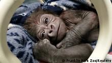 14.10.2020 *** A male western lowland gorilla baby rests after being delivered by Cesarean section from his mother Kiki at the Franklin Park Zoo in Boston, Massachusetts, U.S. October 14, 2020. Picture taken October 14, 2020. Franklin Park Zoo/Handout via REUTERS NO RESALES. NO ARCHIVES. THIS IMAGE HAS BEEN SUPPLIED BY A THIRD PARTY. TPX IMAGES OF THE DAY