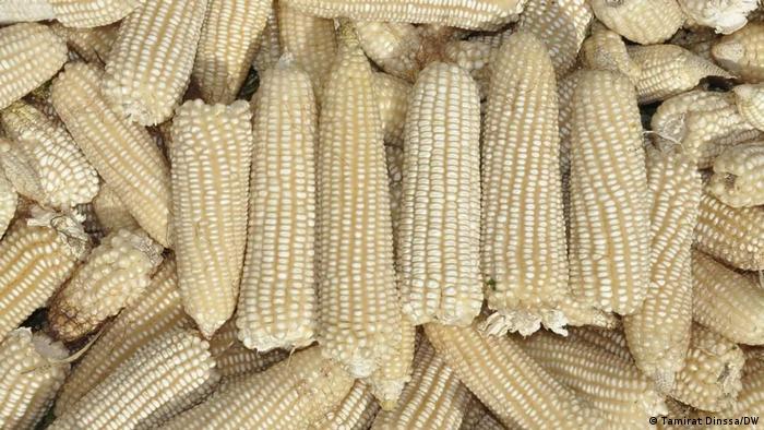 Äthiopien Addis Ababa | Bauern | Mais Produktion