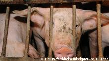 A pig behind bars in a factory farm
