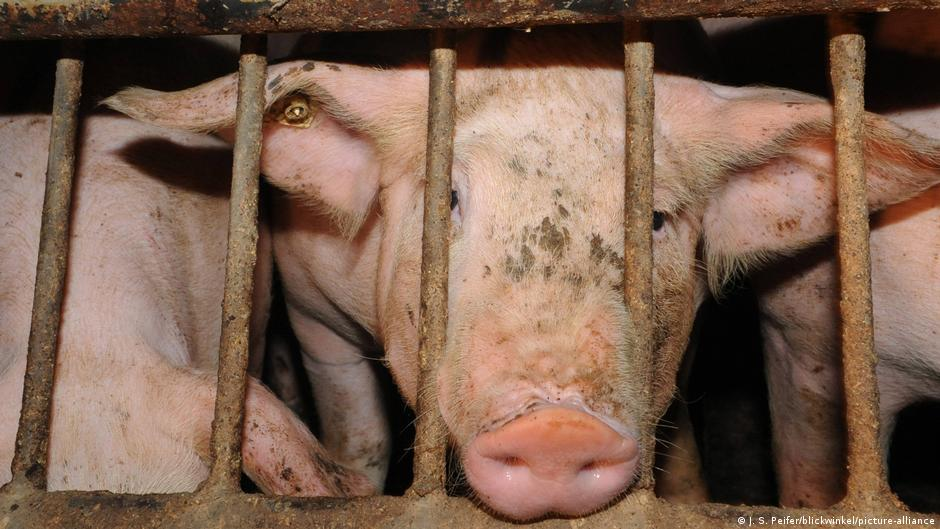 'The conditions are catastrophic': Inside Germany's factory farms