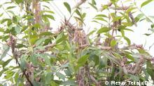 Äthiopien | Heuschrecken in der Hareri Region