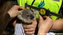 Dr. Kellie Leigh, the executive director of the not-for-profit conservation organisation Science for Wildlife, and her team, conduct a health assessment on a wild koala joey with its mother close by, as part of The Blue Mountains Koala Project, a population monitoring program spearheaded to plan for koala recovery in the region, in Kanangra-Boyd National Park, the Greater Blue Mountains World Heritage Area, near Jenolan, Australia, September 15, 2020. REUTERS/Loren Elliott SEARCH KOALAS ELLIOTT FOR THIS STORY. SEARCH WIDER IMAGE FOR ALL STORIES