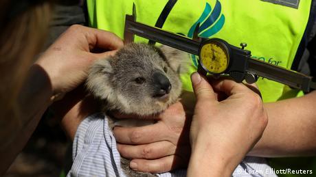 Australien Waldbrände Koalabären (Loren Elliott/Reuters)