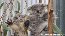 Australien Waldbrände Koalabären