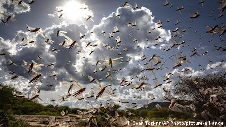 A swarm of locusts in Kenya