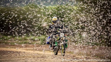 A motorcyclist rides through a swarm of locusts.